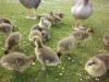 Ducklings on the green, Poole Park