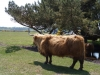 Highland Cattle in The New Forest