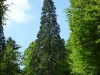 New Forest conifer trees, Blackwater, Rhinefield ornamental drive