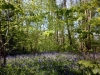 Bluebells in Thorncombe Woods nr Hardy\'s Cottage