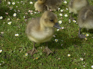 Duckling in Poole Park