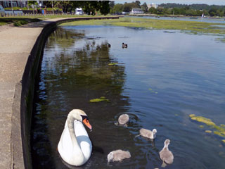 swans on poole park lake