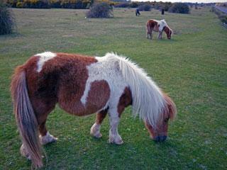 New Forest - Shetland Pony